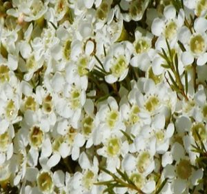 Waxflower Alba Resendiz Brothers