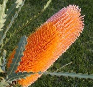 Banksia Ashbyi Resendiz Brothers Flora