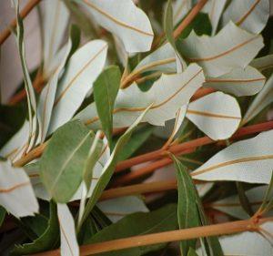 Banksia Integrifolia Year Round