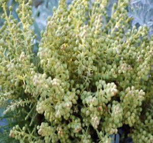 Berzelia Lanuginosa Spring