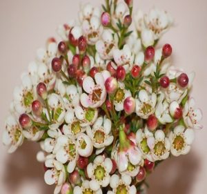 Waxflower  Blondie Resendiz Brothers