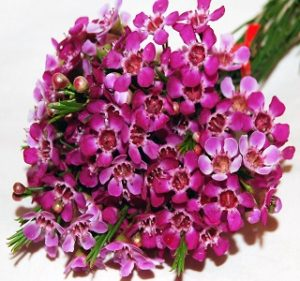 Waxflower  Blue-Pride