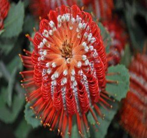 Banksia Coccinea Resendiz Brothers Flora