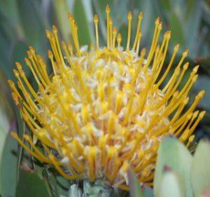 Conocarpodendron Resendiz Brothers