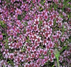 Waxflowers Dusty Pink