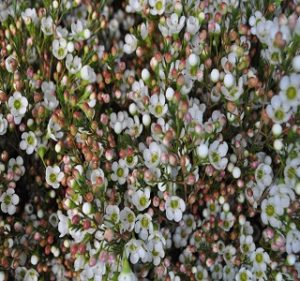 Esperanza Waxflowers