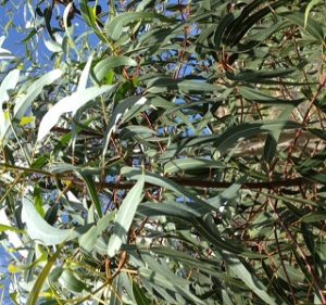 Eucalyptus Erithrocorys Year Round