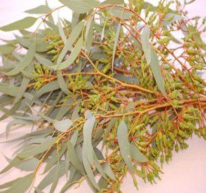 Eucalyptus Forrestiana Fall