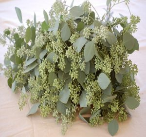 Eucalyptus Silver Dollars Seeded Fall-Winter