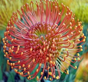 Pincushion Leucospermum Flame Giant Resendiz Brothers Flora