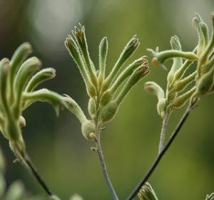 Kangaroo Paw Flavidus Resendiz Brothers Flora