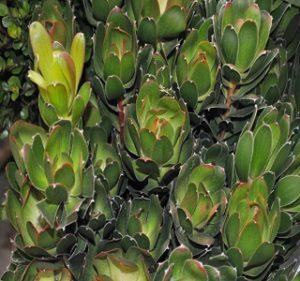 Leucadendron Goblet Resendiz Brothers Flora