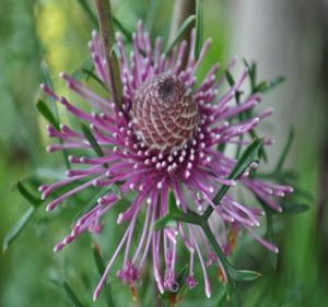 Misc Flora Isopogon Formosus Resendiz Brothers