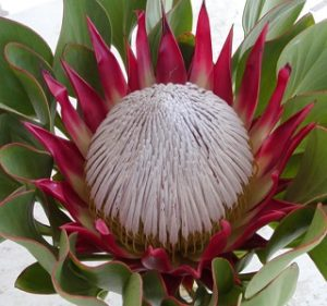 Protea King Red Rex Resendiz Brothers