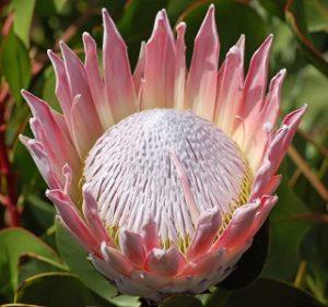 Protea King Silver Pink Resendiz Brothers