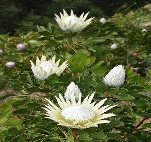 Protea King White Resendiz Brothers California Flora