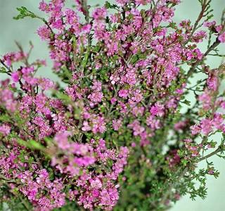 Filler flowers Kunzea Purple
