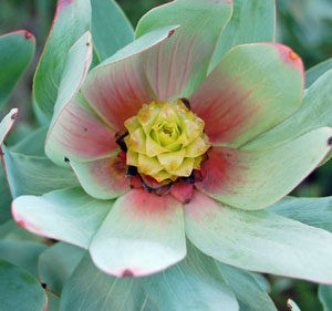 Leucadendron Tintum