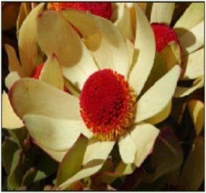 Leucadendron Lennox Resendiz Brothers Flora