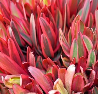 Flora Leucadendron California Resendiz Brothers
