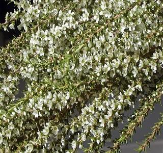 Filler Flowers Leptospermum Mini White