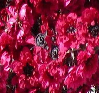 Filler Flowers Leptospermum Ruby Red