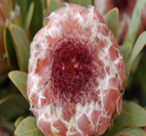 Protea May Day Resendiz Brothers