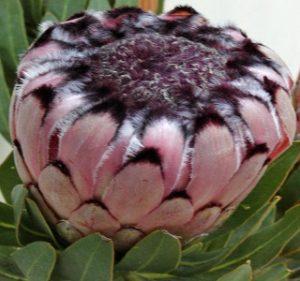 Protea Nerifolia Ruby Resendiz Brothers