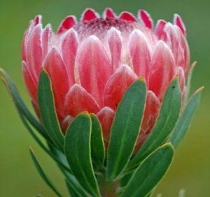 Protea Pink Ice Resendiz Brothers California Flora