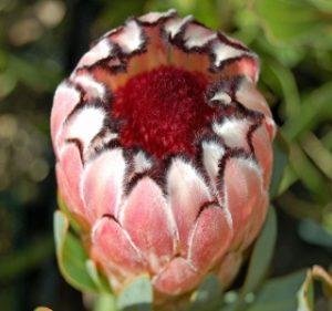 Protea Profusion Resendiz