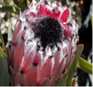 Protea Queen Hybrid Resendiz Brothers