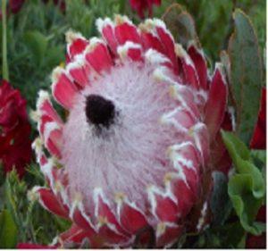 Protea Queen Pink koo Resendiz Brothers