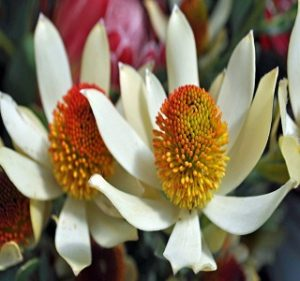 Leucadendron Red Eye Resendiz Brothers Flora