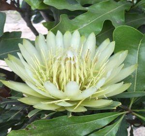 Protea Repens White Helen Resendiz Brothers California Flora