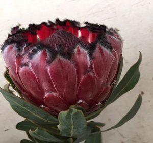 Protea resendiz Pride Resendiz Brothers California Flora