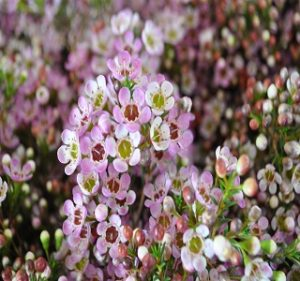 Waxflowers Revelation