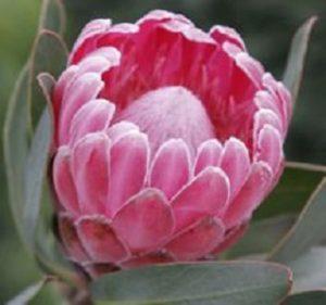 Protea Trish Compacta Resendiz Brothers California Flora