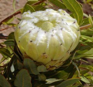 Protea White Owl Resendiz Brothers California Flora