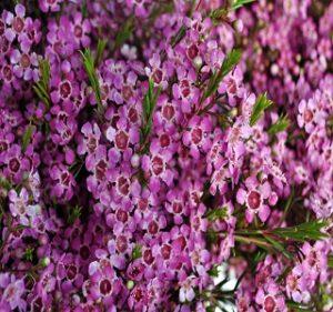 Waxflowers Purple Pride