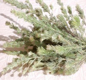 Woolly Bush Year Round