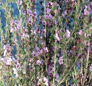 Filler flowers wax flowers resendiz brothers ff astatea pink mightylinksfo