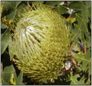 Banksia Baxteri Resendiz Brothers Flora