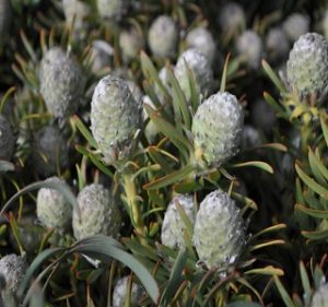 Leucadendron Galpinii Resendiz Brothers Flora