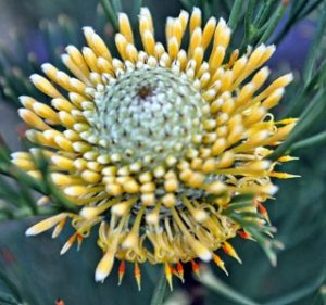 Misc Flora Isopogon Anethifolius Resendiz Brothers