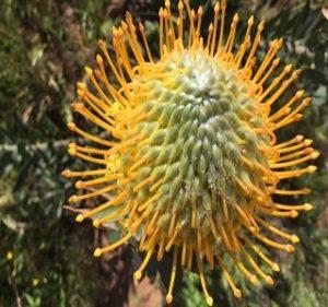 Pincushion Leucospermum Jakeline Resendiz Brothers Flora