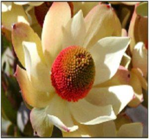 Leucadendron Pom Pom Resendiz Brothers Flora