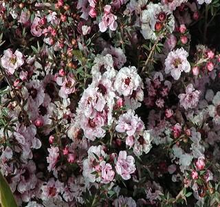 Filler flowers wax flowers resendiz brothers ff leptospermum white season spring filler flowers leptospermum mightylinksfo