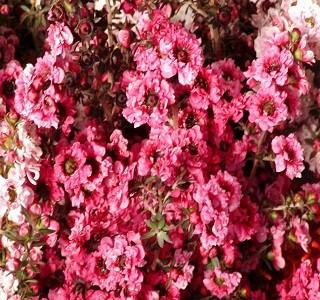 Filler flowers wax flowers resendiz brothers ff leptospermum variegated pink season spring filler flowers riceflowerhotpin mightylinksfo