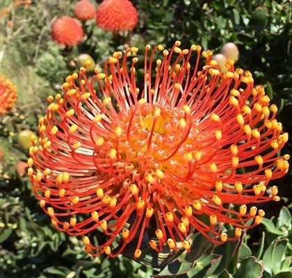 flora Leucospermum California Resendiz Brothers