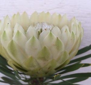 Protea White Pearl Resendiz Brothers California Flora